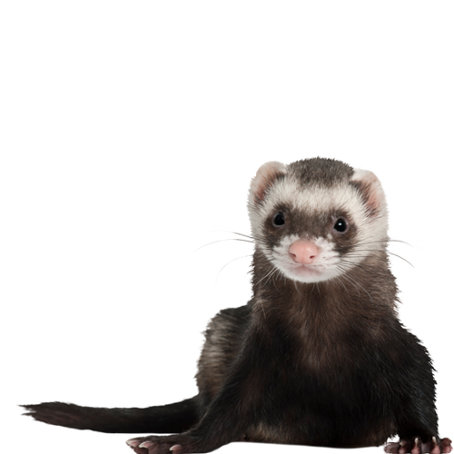 Ferret and Critter Nations
